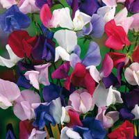 Luktärt Bijou Mix- Lathyrus odoratus L.