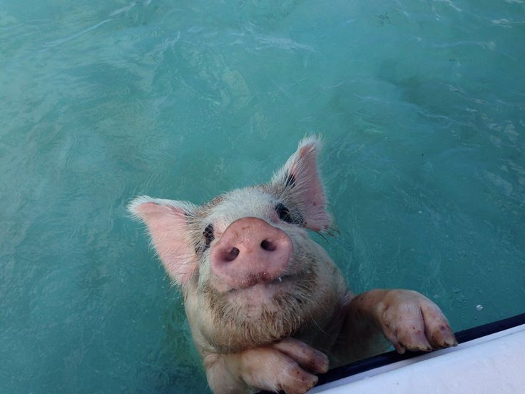 Swimming Pigs at Staniel Cay, Great Exuma, Bahamas. Photo by Tracy Zimmer Insta @tracy.zimmer Pinterest @tracyzimmer