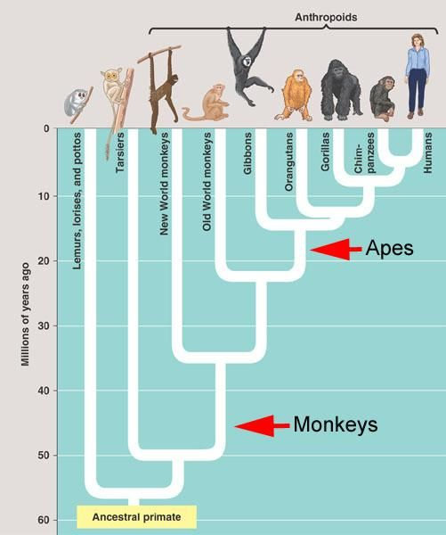 Phylogeny of homo sapiens from least common ancestor with ...