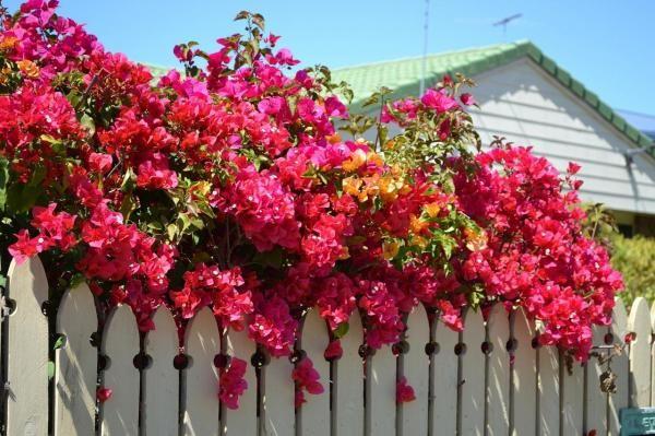 Como cuidar de uma buganvília. A buganvília é uma planta de origem sul-americana conhecida também como três-marias, pau-de-roseira, ceboleiro, santa-rita... e com muitos outros nomes segundo o país. Trata-se de uma colorida trepade...