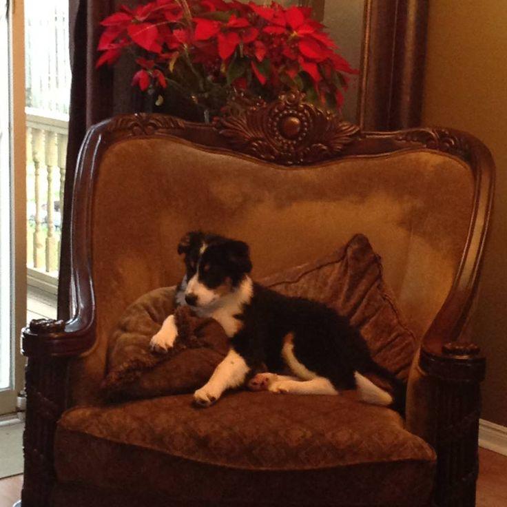 Shania My sweet sister  Bernese Mountain Dog