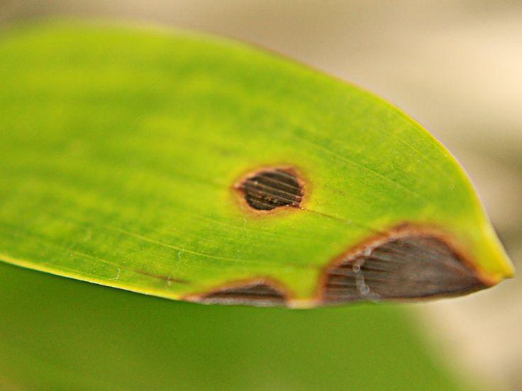 Sintomas de Carências Nutricionais das Plantas   Flores - Cultura Mix