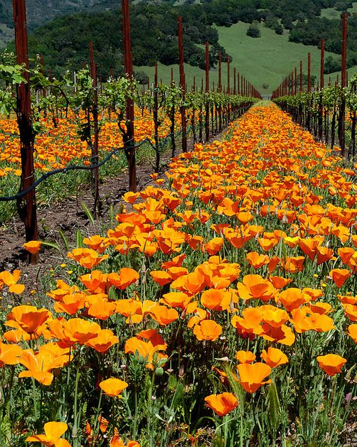 Springtime in the Wine Country | Poppies in a vineyard near Kenwood, CA, on Hwy 12, between the Kenwood and Kunde wineries -- by mcastellucci
