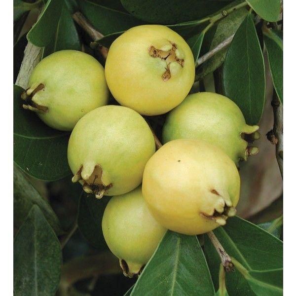 Lemon Guava (Psidium littorale) produces sweet yellow fruit arrives from summer through fall