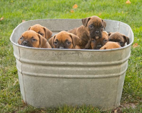 Nellie Boxer Puppy Boxer puppies for sale, Puppies for