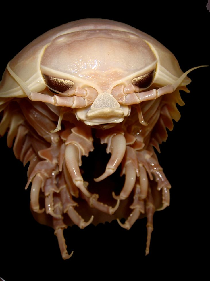 """Monster Bug""  A foot-long ringer for a wood louse, Bathynomus is a hulking crustacean with razor-sharp mandibles and eyes that catch the light like a cat's."