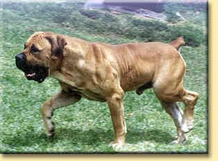 The South African Boerboel... Another great dog breed for the Ranch!