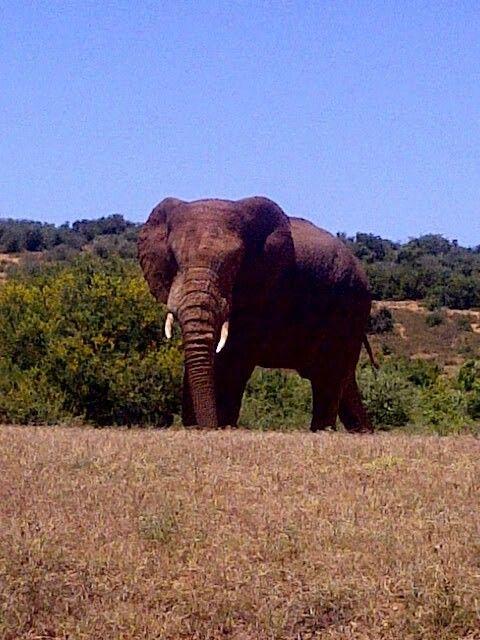 Elephant bull - Addo Elephant Park