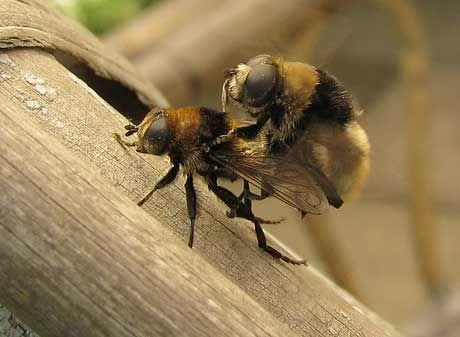 Sex im Garten - Bilder und ein Video von der Schwebfliegen-Paarung