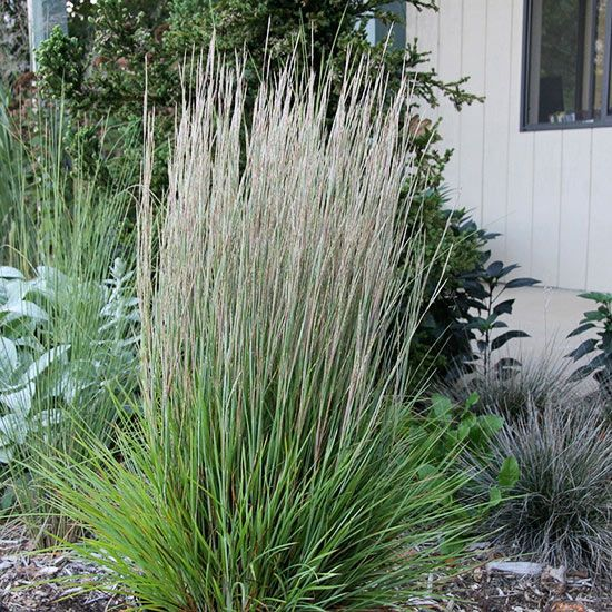 29 best easy care ornamental grasses images on pinterest for Tall border grass