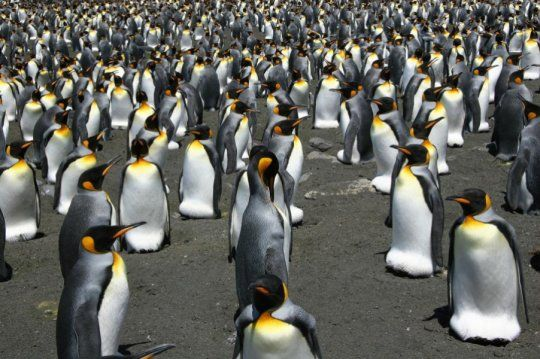King penguins may be on the move very soon  ||  More than 70 percent of the global King penguin population, currently forming colonies in Crozet, Kerguelen and Marion sub-Antarctic islands, may be nothing more than a memory in a matter of decades, as global warming will soon force the birds to move south, or disappear. https://www.sciencedaily.com/releases/2018/02/180226122528.htm?utm_campaign=crowdfire&utm_content=crowdfire&utm_medium=social&utm_source=pinterest #loveandlight #psychic…