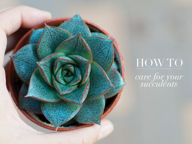 HOW TO: CARE FOR YOUR SUCCULENTS