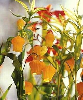 Sandersonia, a very cool South African plant that I'd like to try growing.