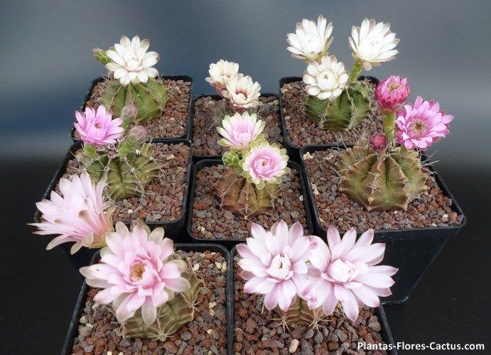 ¿Los cactus florecen