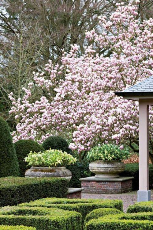 Tulip Magnolia Tree in Bloom