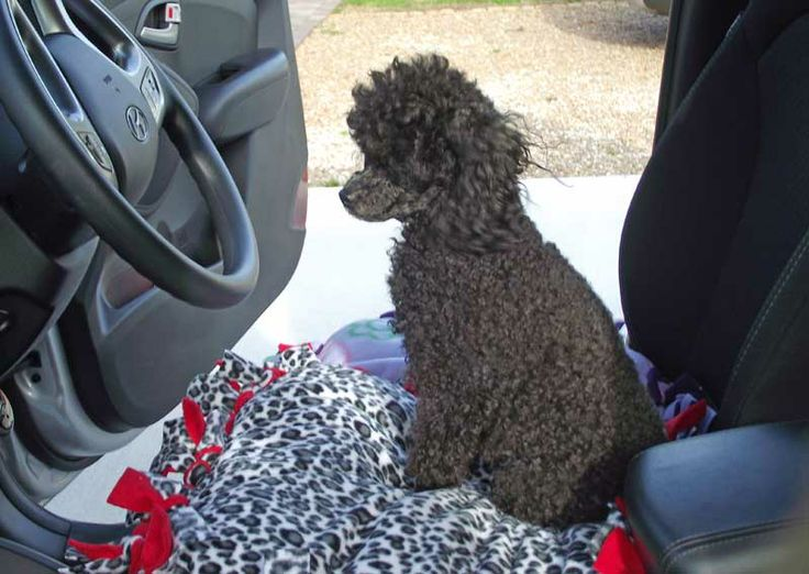 Saxon, a Toy Poodle, waiting patiently for her passengers to arrive!