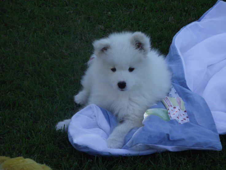 Our 7 week old Samoyed pup. She's the cutest thing