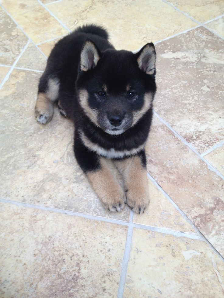 Sasha, 3 month old Black and Tan Shiba Inu. I want a red shiba inu and a black one (not at same time. That's ownership suicide)