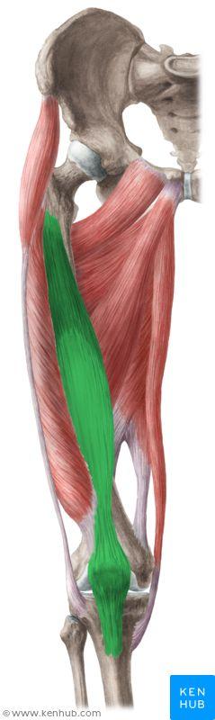 Vastus intermedius muscle (Musculus vastus intermedius)