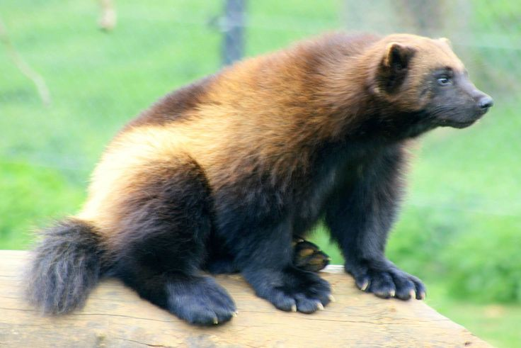 Angry Animals Google Search: 1000+ Ideas About Wolverine Animal On Pinterest