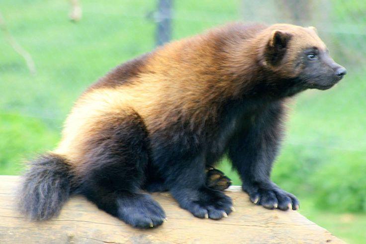 1000+ Ideas About Wolverine Animal On Pinterest