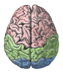 HOW YOUR BRAIN WORKS … AGAINST YOU: Our brain fools us. Our brains are divided into left and right hemispheres but that's not the right subdivision to ponder anymore ...