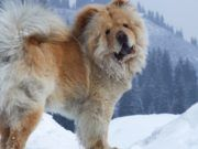 Chow Chow Dog Breed Information, Characteristics & Facts