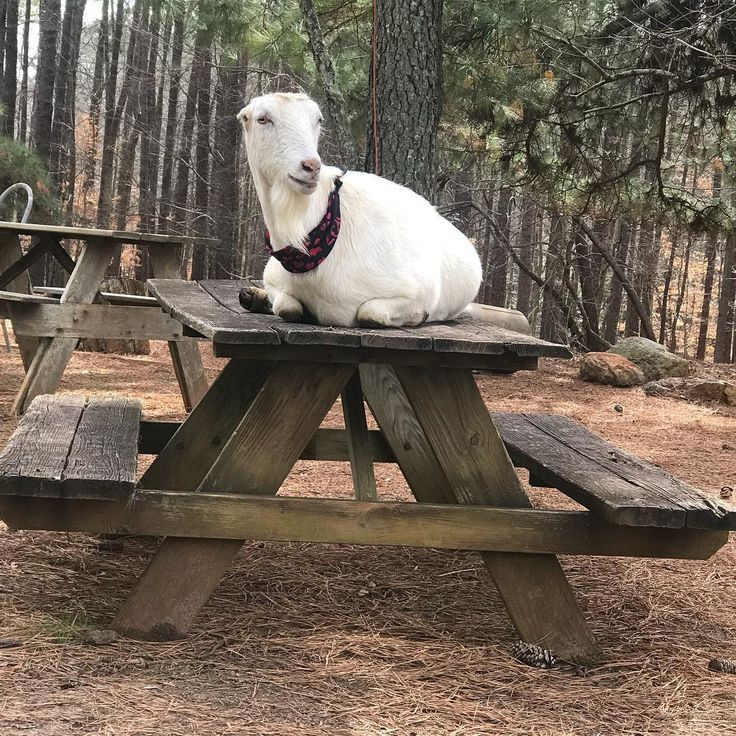 MARTHA WHITE always likes to be up high at Winterpast Farm Petting Zoo in Wake Forest NC. This picnic table in the back pasture is one of her favorite perches at Winterpast Farm Petting Zoo in Wake Forest NC. Come meet MARTHA and bring her some food treats. She loves eating apple slices, carrots, kale, grapes, romaine lettuce and more from farm visitors hands. Winterpast Farm will open at 10 today and close whenever the rain arrives. Farmer Mary hopes the rain stays away til the  usual Farm…