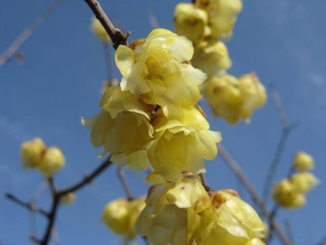 1月12日の誕生日の木は「ソシンロウバイ(素心蝋梅)」です。 ロウバイ科 ロウバイ属の落葉低木。原産地は中国。ロウバイから生まれた変種といわれています。日本へは、明治初期から中頃に朝鮮を経て渡来したと推定されています。ちなみに、同属の「ロウバイ(蝋梅)」はソシンロウバイより200年ほど早い1,600年代に日本へ渡来していたといわれています。 和名は漢名の「素心蝋梅」を音読みして「ソシンロウバイ」となりました。 漢名の「素心」とは、花弁(顎)、花芯まで同じ色の花を中国では素心と呼ぶことに由来します。「蝋梅」の由来は、花の姿がウメの花に似た ①ロウ細工のような光沢と透明感のある花が咲く。②花弁の色が密臘に似た花が咲く。③花が臘月(ろうげつ:中国の陰暦の12月)に咲く。の説から「蝋」が付けられたそうです。