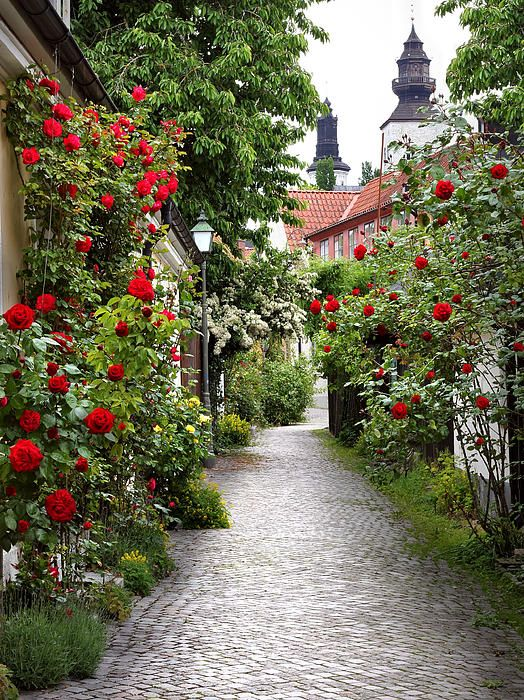 Alley of Roses in Visby, Sweden ... photo by Simon Alvinge