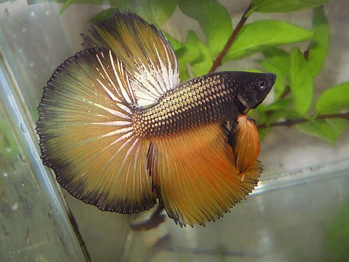 17 best images about betta fish on pinterest betta tank for Bloated betta fish