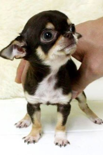 Little tiny chi                                                                                                                                                                                 More