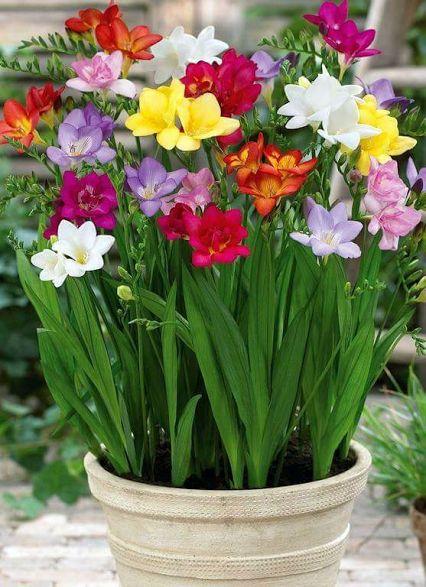 Pot of bulbs fresias
