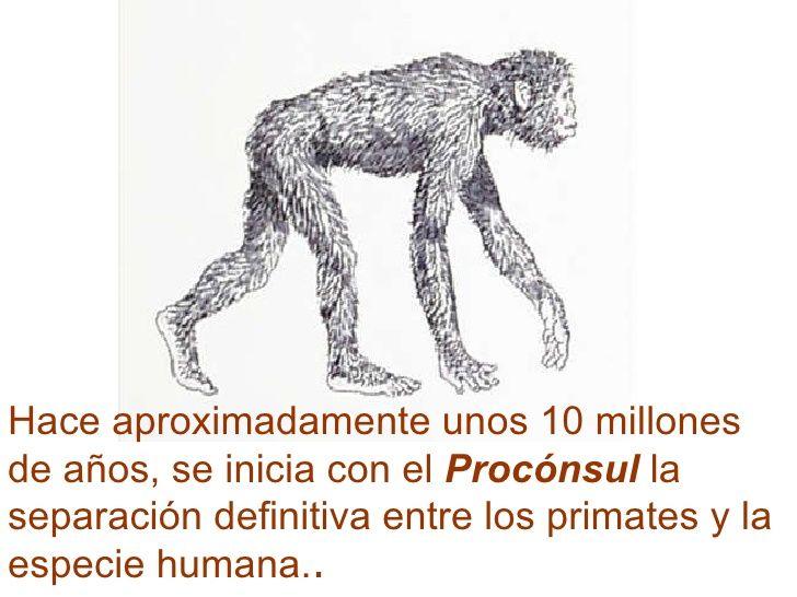 El procónsul era un cuadrúpedo de movimientos lentos, arborícola. Considerado como antepasado de grandes simios y de humanos, el procónsul presenta, en general, una combinación única de caracteres entre mono y antropoide. En el Mioceno Medio nos encontramos con la supervivencia del procónsul hasta los 8-9 millones de años.