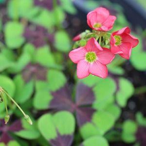 Shamrock Flower...