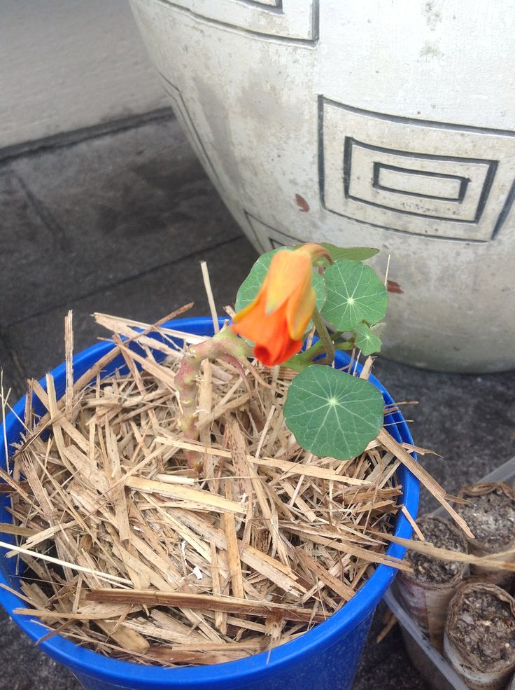 Nasturtium cutting taken well. Starting to flower.