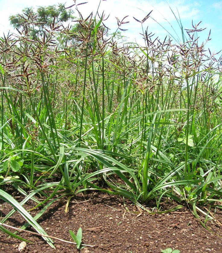 Como acabar com a tiririca na horta. A tiririca, também conhecida como Cyperus…