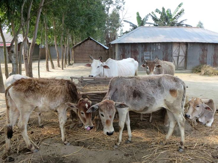 Cattle provide income for inhabitants of the chars (sandbank islands) in the Jamuna River, Bangladesh.