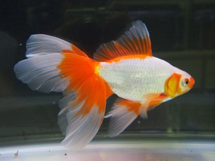 M s de 25 ideas incre bles sobre estanque de pez dorado en for Estanque japones
