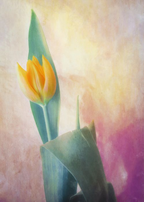 """Tulip on the Wall"" ...enhanced photographic print..."