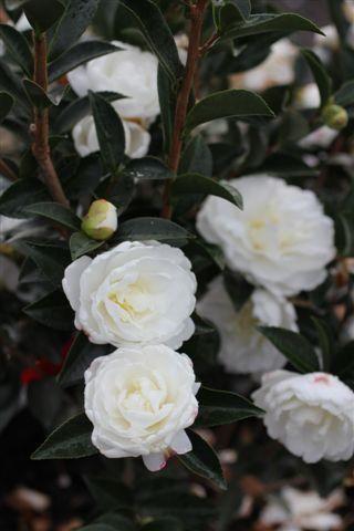 Camellia sasanqua 'T.S. White'