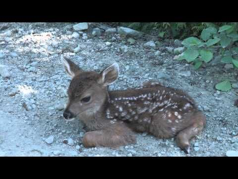 We were unpacking the car from a canoe trip when this fawn stumbled across our front yard and into Maya's arms. The fawn had a good sense about Maya and foll...