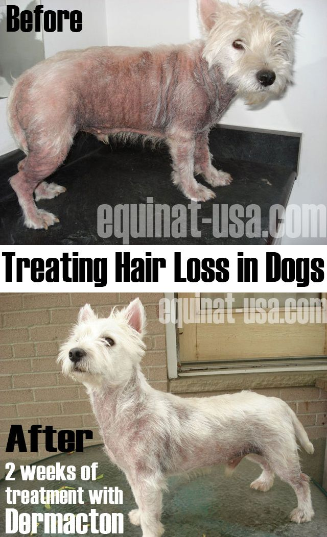 Hair Loss In Dogs, itching, chewing, hot spots, darkening of skin, elephant type skin - Petnat Dermacton! Fast results guaranteed or your purchase price back. 30 day no quibble guarantee! #dogs #pethealth #dermacton