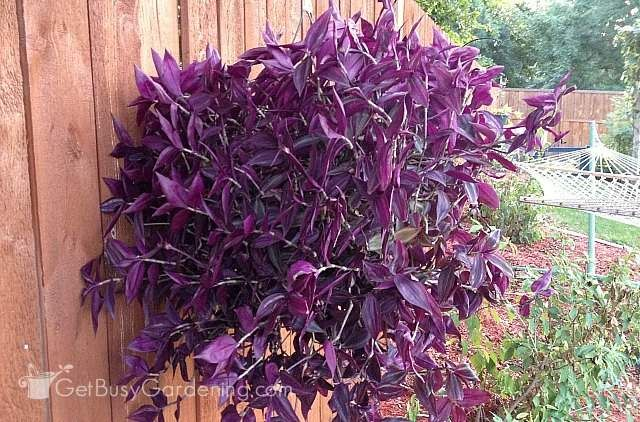 1000 ideas about wandering jew on pinterest planters tall planters and outdoor flower pots. Black Bedroom Furniture Sets. Home Design Ideas