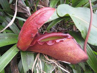 Плотоядные растения: Непентес Раджа - Nepenthes rajah