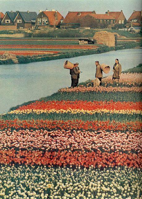 Tulips blooming in Noordwijkerhout, Holland (National Geographic | April 1968)