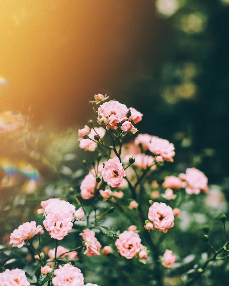 @wzzly Instagram #rose #flower #nature #green #light #bright