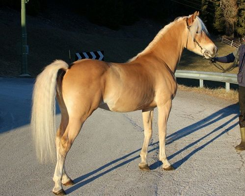 Provincial Federation of South Tyrol Haflinger Horse Breeders – Noriker Horses for sale breeding breed buying a horse events stallion association Italy Haflinger route colt filly mare riding