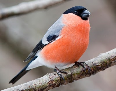 Bullfinch - just one of many birds visiting the bird table my mum had put up in our garden.