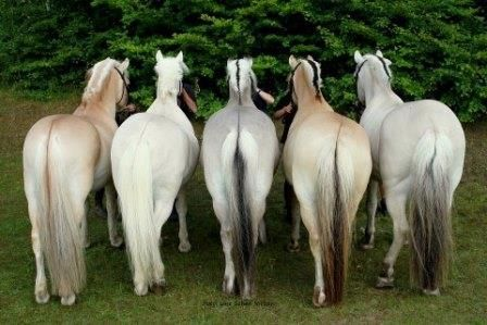 Horses come in many colours. But when we speak about Fjord Horses there are only five accepted colours. You can see them on the picture below, from left to right: red dun, yellow dun, grey, brown dun and uls dun (the last three with black hairs in the forelock, the mane, the dorsal stripe and the tail).